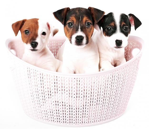 Jack russell terrier-puppy in een roze mand