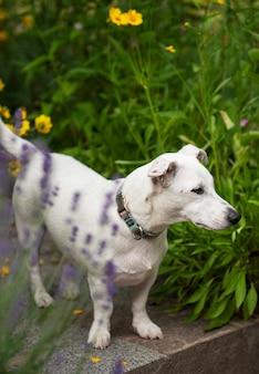 Jack russell terrier-puppy in het gras