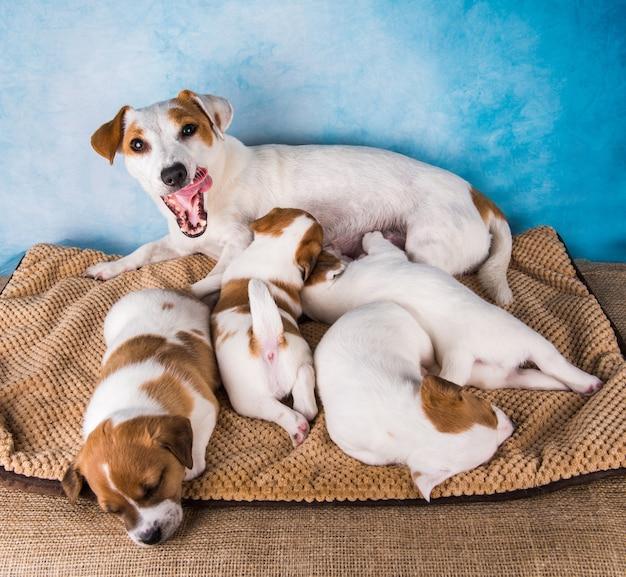 Jack russell terriër-puppy's om melk van hun moeder te zuigen.