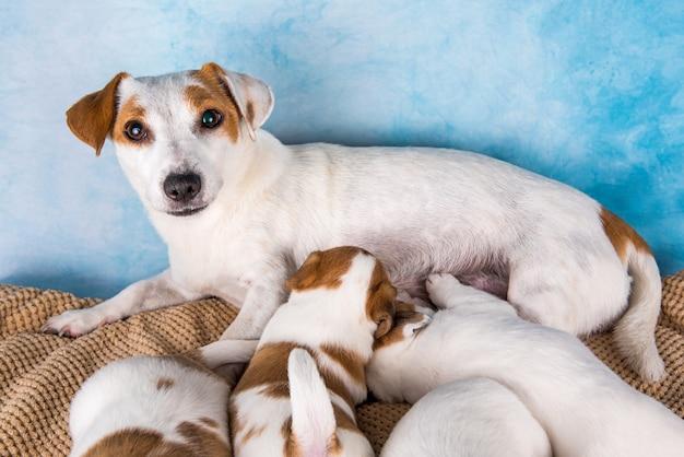 Jack russell terrier-puppy's om melk van hun moeder te zuigen