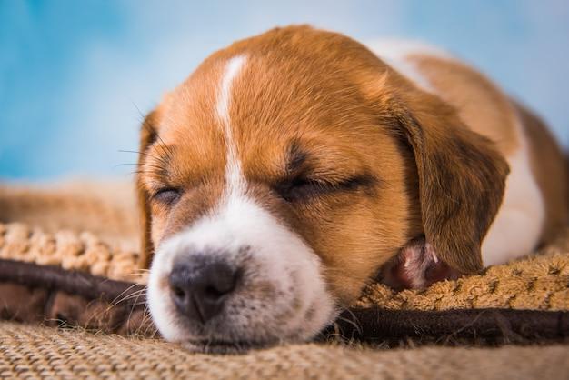 Jack russell terrier-puppy slaapt heerlijk op een zacht bed