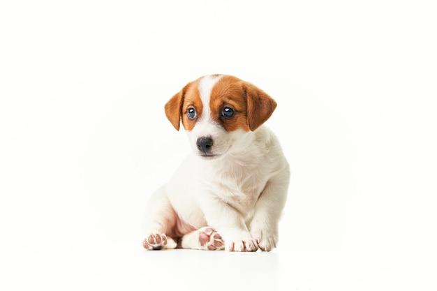 Jack russell terrier-puppy zit en kijkt naar de camera