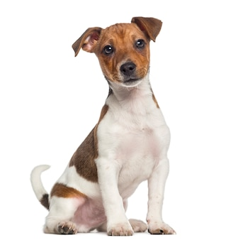 Jack russell terrier puppy zitten