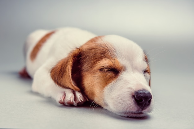 Jack russell terrier-puppyslaap