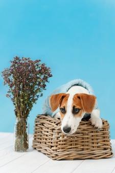 Jack russell terrier-puppyzitting op de houten vloer op blauw muurportret.