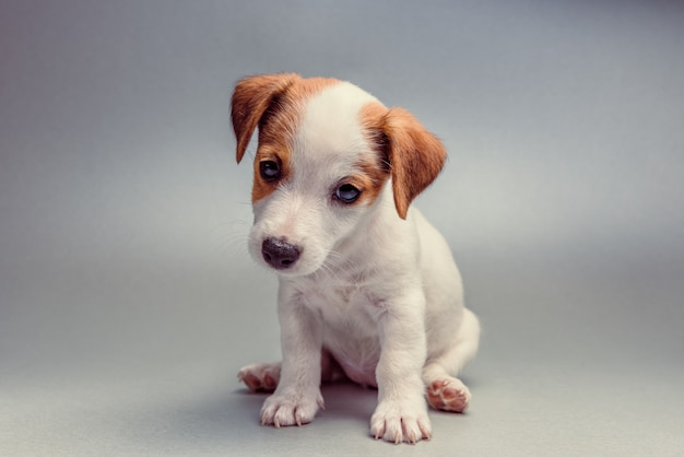 Jack russell terrier-puppyzitting
