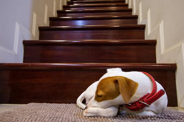 Jack russell terriër slapen op het tapijt