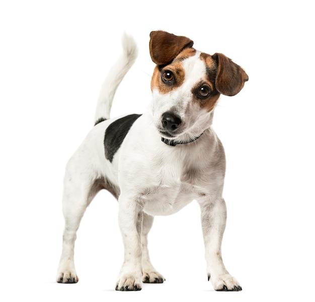 Jack russell terrier status, geïsoleerd op wit