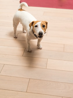 Jack russell terrier thuis