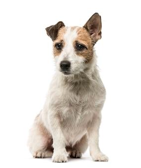 Jack russell terrier zittend, geïsoleerd op wit