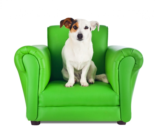 Jack russell zittend op een groene fauteuil