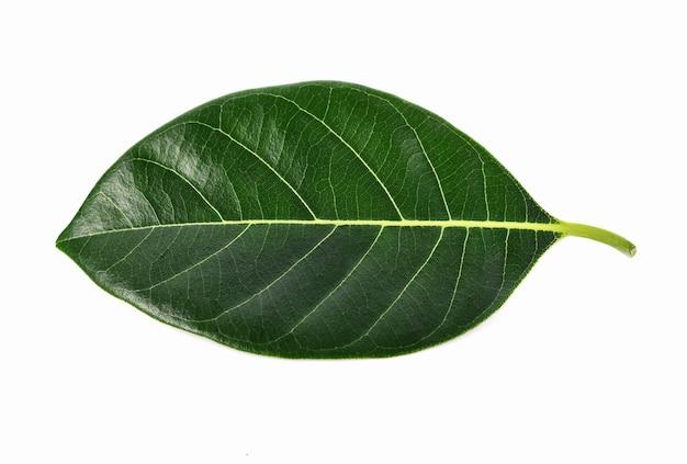 Jackfruit bladeren op witte achtergrond