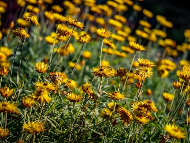 Jacobaea vulgaris-tuin die door gras wordt omringd