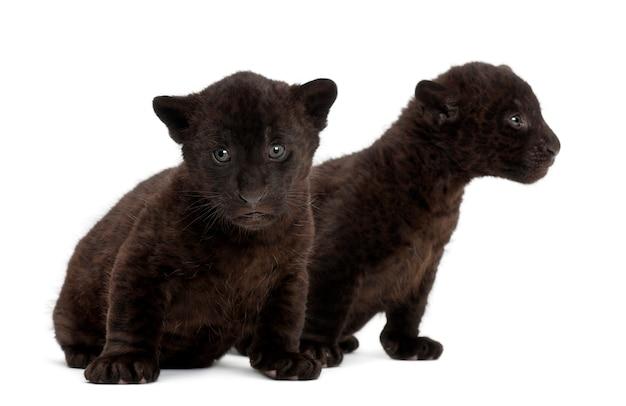 Jaguar cub, 2 maanden oud, panthera onca, zittend