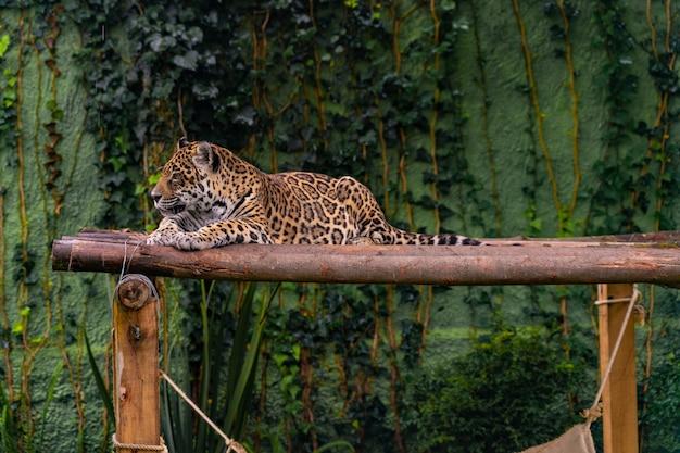 Jaguar die in het gras, aard, wilde dieren rust.