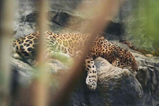 Jaguar die op de rots rust