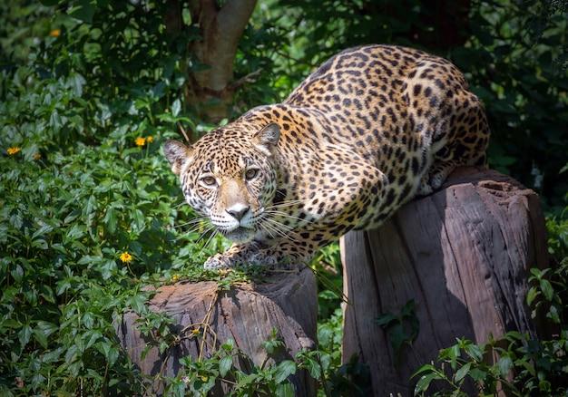 Jaguars hout keek naar het slachtoffer.