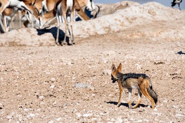 Jakhals die met zwarte rug één of andere prooi waterhole, okaukuejo, het nationale park van etosha, namibië bekijkt