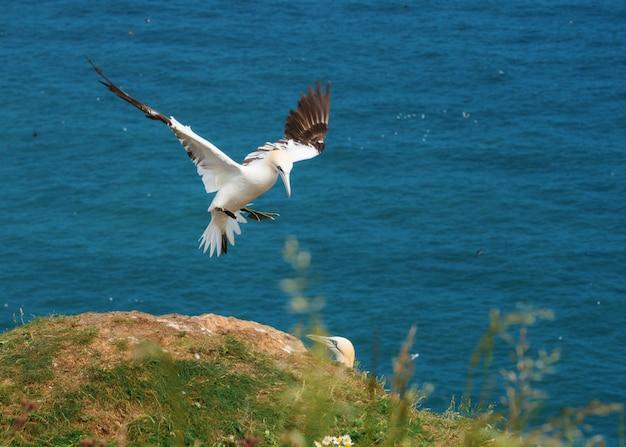 Jan-van-gent die met zijn vleugels tegen de zee wapperen