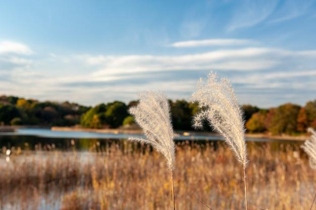 Japans zilveren gras op parkachtergrond.