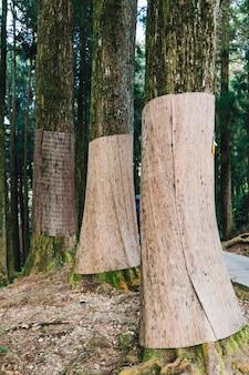Japanse cederbomen die zich kromtrekken met jute om te voorkomen dat de winter bruin wordt in het bos in alishan national forest recreation area