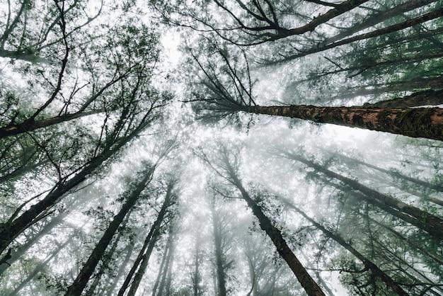 Japanse cederbomen in het bos met mist die van onderaf kijkt