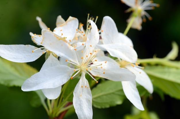 Japanse crabapple bloemen (malus floribunda)