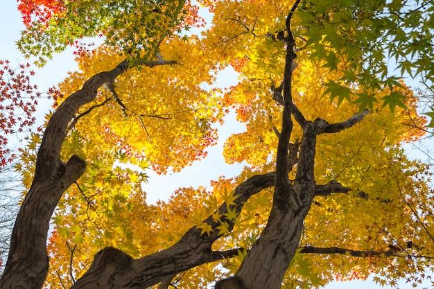 Japanse esdoornbladeren veranderen van kleur in autum