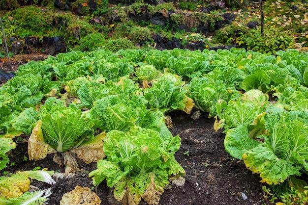 Japanse groene sla in de boerderij n kawaguchiko, japan. biologische voedingsmiddelen