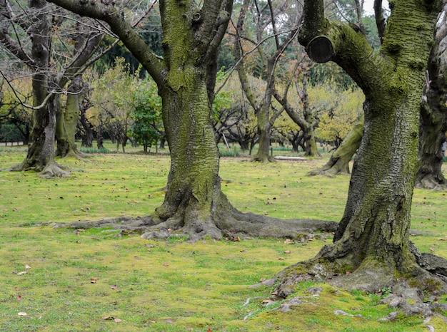Japanse kersenbloesem bomen met mos