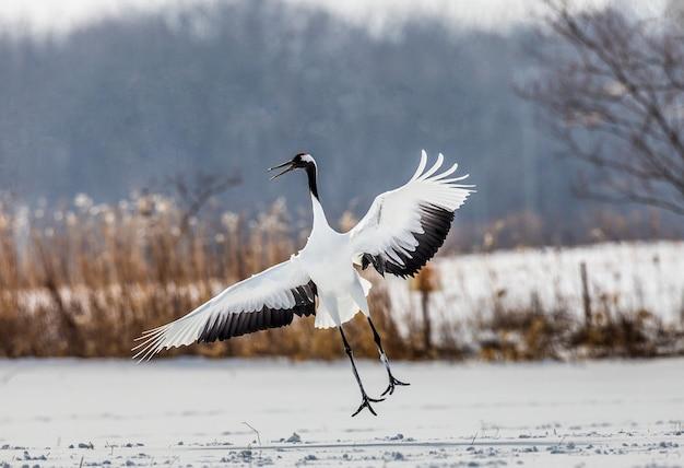 Japanse kraanvogel voert paringsdans uit in de sneeuw. springt hoog. japan. hokkaido. tsurui.