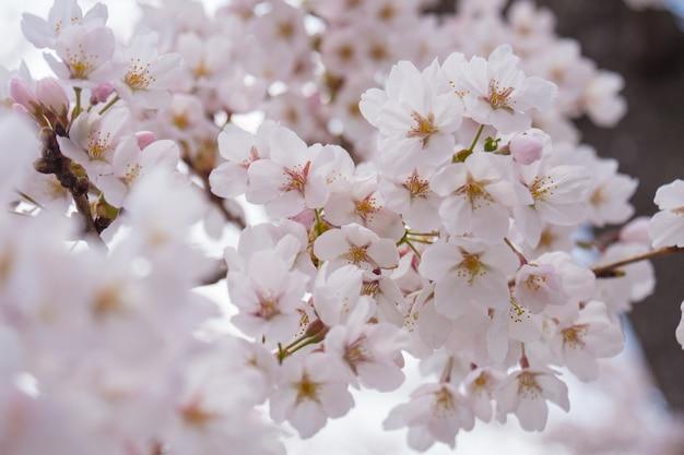 Japanse sakura bloeien