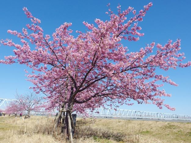 Japanse sakura, de volledig bloeiende roze kers komt boom en blauwe hemel op lentetijd tot bloei.