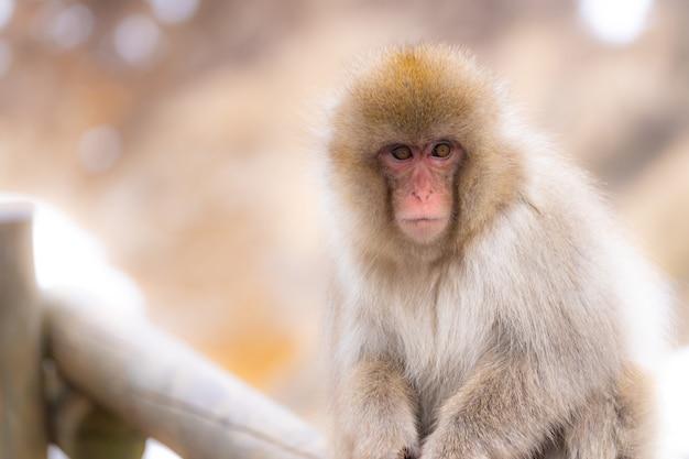 Japanse sneeuw aap