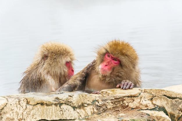 Japanse sneeuwaap (makaak) ontspant in de hete lente in de winter bij sneeuwapenpark.