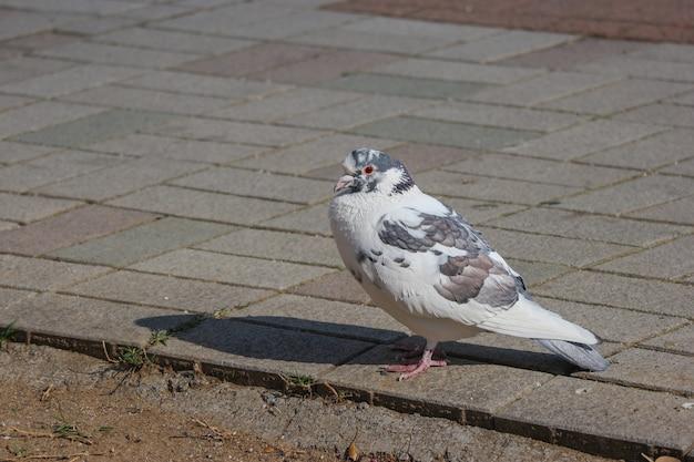 Japanse witte mooie duifvogel die zich op de weg van de rotsstraatsteen bevindt.