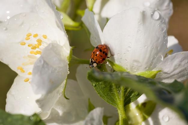 Jasmijn bloeit in de lente