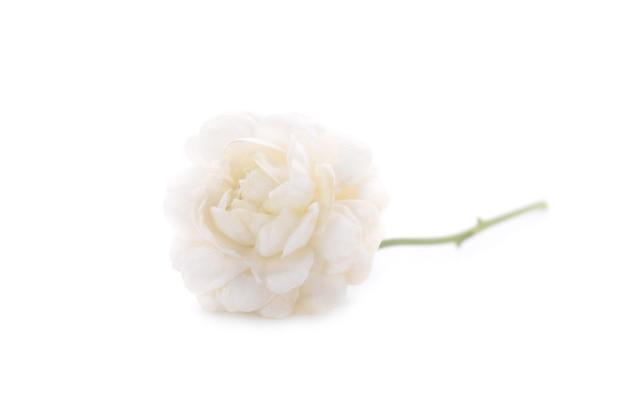 Jasmijn geïsoleerd op witte achtergrond