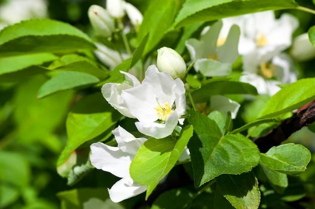 Jasmijnbloem groeit op de struik in de tuin, bloemen oppervlak close-up