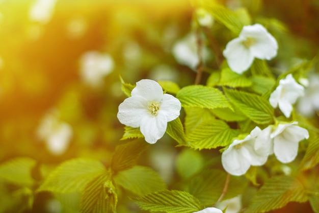 Jasmijnbloemen die in tuin met zongloed groeien