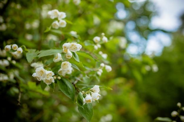 Jasmijnbloemen die op struik in zonnige dag in het park of de tuin tot bloei komen. jasmijnbloem het groeien op de struik in tuin met zonnestralen en bokeh.