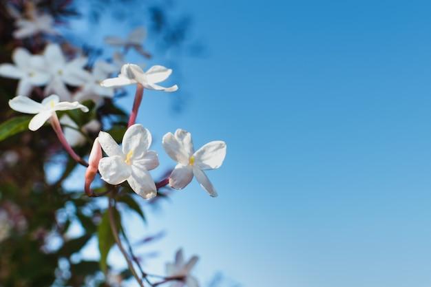 Jasmijnbloemen in bloei tegen een blauwe hemel