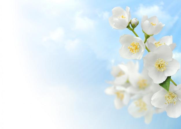 Jasmijnbloemen over blauwe hemelachtergrond