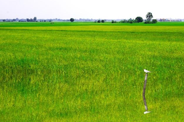Jasmijnrijstboerderij en zachte mist in de ochtend en vogel op droge boom