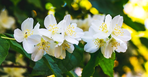 Jasmijnstruik met witte bloemen bij zonnig weer_