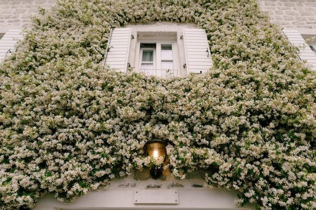 Jasmine krult tegen de muur bij een raam met open luiken en een straatlantaarn aan.