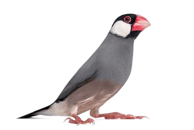 Java sparrow - padda oryzivora - geïsoleerd op wit
