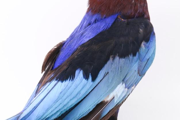 Javan kingfisher de blauw-doen zwellen ijsvogel die op wit wordt geïsoleerd