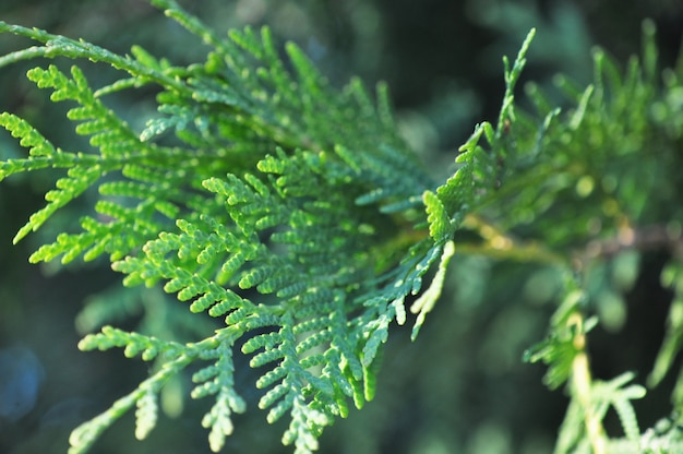 Jeneverbes vertakt zich dicht omhoog. botanische macro achtergrond.