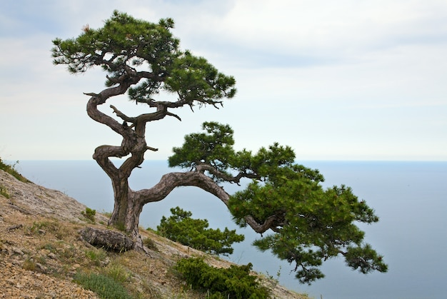 Jeneverbesboom op rots (